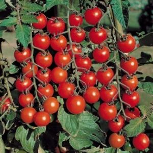 cherry-tomato-1_4037