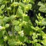 plante aromatice_roinita 3