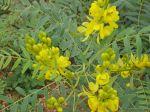 Senna_alexandrina_Mill.-Cassia_angustifolia_L._(Senna_Plant)